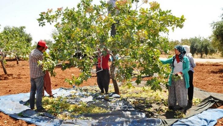 Gaziantep'te 'yeşil altın' hasadına başlandı